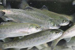 cropped-salmon-fry-chinook1.jpg